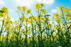 De bloemen van Canola Stock Fotografie