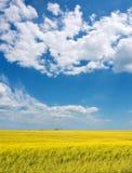 De bloemen van Canola onder dramatische hemelen Royalty-vrije Stock Afbeelding