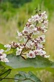 De bloemen van Catalpaovata Stock Foto's