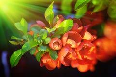 De bloemen van Chaenomeles Stock Foto's