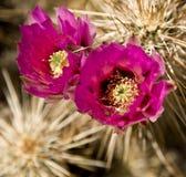 De Bloemen van Cholla Stock Foto