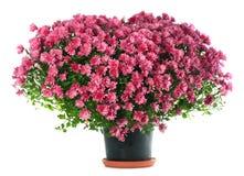 De bloemen van chrysanten in hartvorm Stock Afbeelding