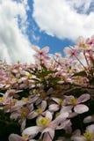 De bloemen van clematissen Royalty-vrije Stock Foto's
