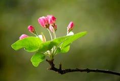 De bloemen van Crabapple Royalty-vrije Stock Foto's