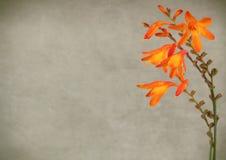 De bloemen van Crocosmia stock fotografie