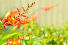De bloemen van Crocosmia Stock Foto