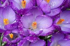 De Bloemen van Crokus Royalty-vrije Stock Fotografie
