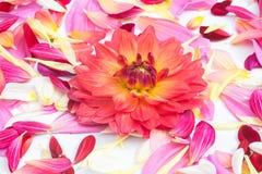 De bloemen van dahliabloemblaadjes Royalty-vrije Stock Fotografie