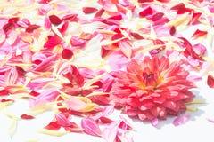 De bloemen van dahliabloemblaadjes Royalty-vrije Stock Foto