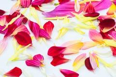 De bloemen van dahliabloemblaadjes Stock Afbeeldingen