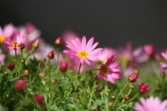 De bloemen van Daisy Stock Afbeelding