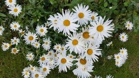 De bloemen van Daisy Royalty-vrije Stock Foto