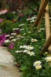 De bloemen van Daisy in clusters Royalty-vrije Stock Fotografie