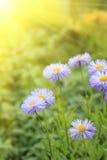 De bloemen van Daisy met zonlicht royalty-vrije stock afbeelding