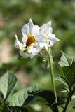 De bloemen van de aardappel Royalty-vrije Stock Afbeeldingen