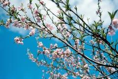 De bloemen van de abrikoos Royalty-vrije Stock Afbeeldingen