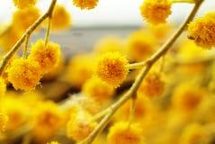 De bloemen van de acacia Stock Afbeeldingen
