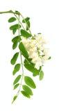 De bloemen van de acacia Royalty-vrije Stock Afbeeldingen