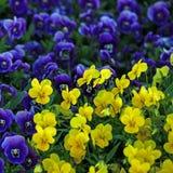 De Bloemen van de altviool Stock Foto's