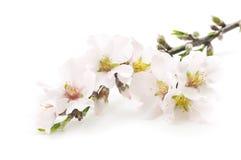 De bloemen van de amandel Royalty-vrije Stock Afbeelding