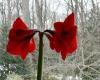 De bloemen van de amaryllis Stock Foto