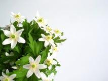 De bloemen van de anemoon stock foto