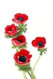 De bloemen van de anemoon royalty-vrije stock fotografie