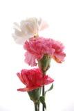 De bloemen van de anjer Stock Foto