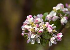 De bloemen van de appel stock foto