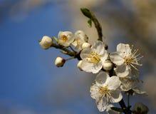 De bloemen van de appel royalty-vrije stock fotografie