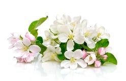De bloemen van de appel op een witte achtergrond Royalty-vrije Stock Foto's