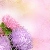 De bloemen van de aster Royalty-vrije Stock Foto