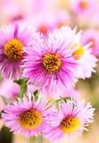 De bloemen van de aster Stock Afbeeldingen