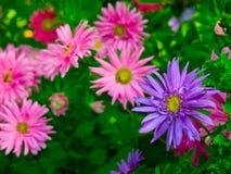 De bloemen van de aster in een tuin Stock Foto