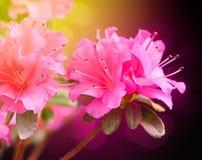 De bloemen van de azalea Royalty-vrije Stock Afbeeldingen