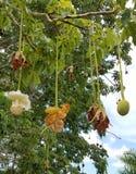 De bloemen van de baobabboom Stock Foto