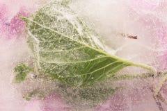 De Bloemen van de bladhydrangea hortensia in Ijsblokje worden bevroren dat Royalty-vrije Stock Fotografie