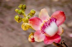 De bloemen van de Boom van de kanonskogel Stock Afbeelding