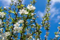 De bloemen van de boombloesem bij de lente over blauwe natuurlijke hemelachtergrond stock fotografie