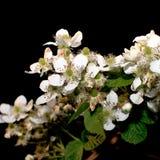 De bloemen van de braambes Stock Afbeeldingen