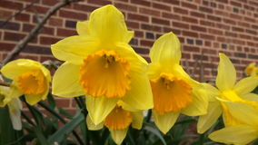 De Bloemen van de buurtgele narcis stock footage