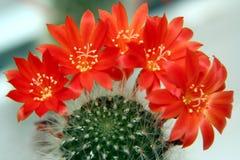 De bloemen van de cactus Stock Afbeelding