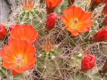 De bloemen van de cactus Stock Foto