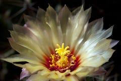 De bloemen van de cactus in park Stock Foto