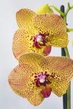 De bloemen van de charmeurorchidee stock fotografie