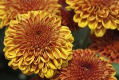 De Bloemen van de chrysant Stock Afbeeldingen