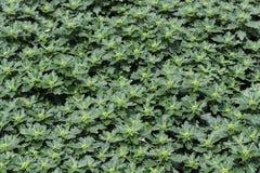 De Bloemen van de chrysant Royalty-vrije Stock Fotografie