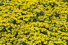 De Bloemen van de chrysant Royalty-vrije Stock Afbeelding