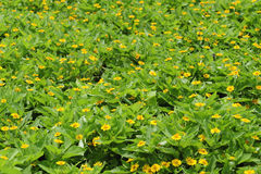 De Bloemen van de chrysant Stock Foto