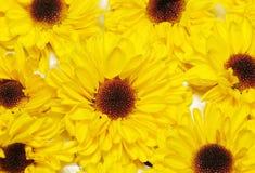 De Bloemen van de chrysant Royalty-vrije Stock Foto